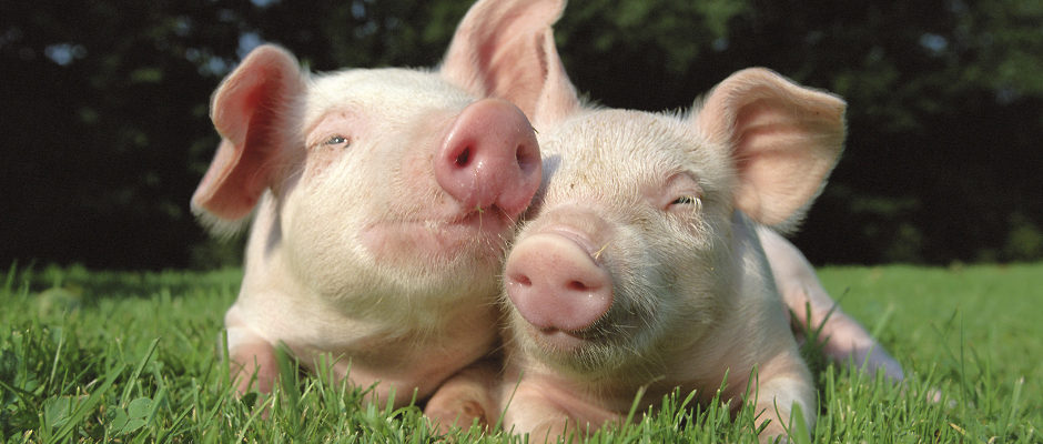 Image to introduce products for pigs section